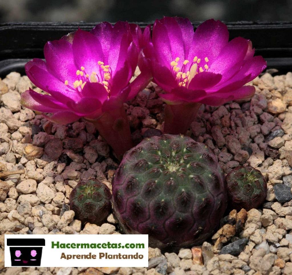 Sulcorebutia rauschii. floriada