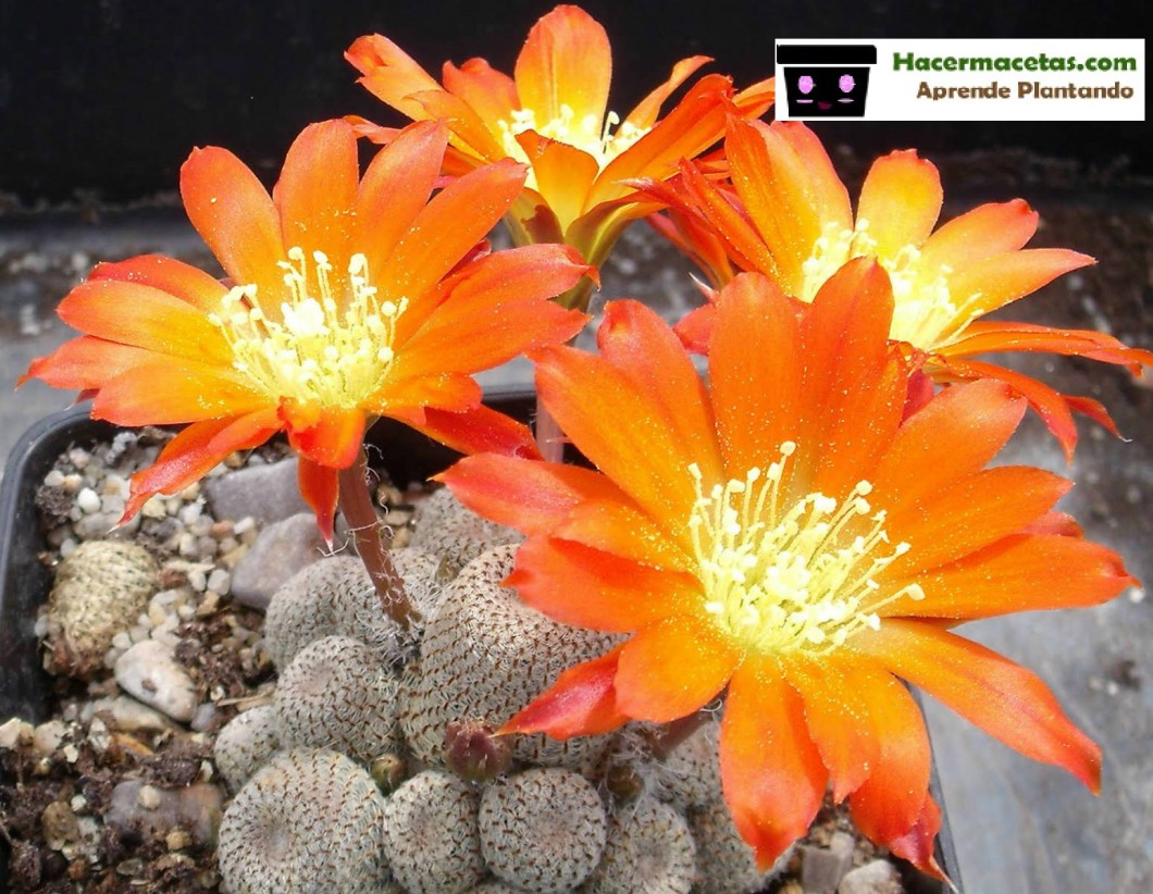 aylostera heliosa floriada