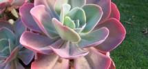7 consejos para tus plantas Echeverias
