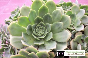 Plantas de Echeverias sus origen y cuidados