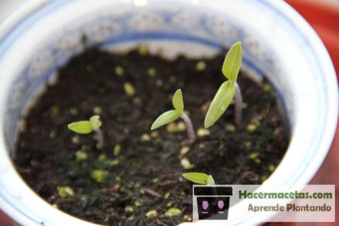 semillas de pimenton germinadas primeras hojas