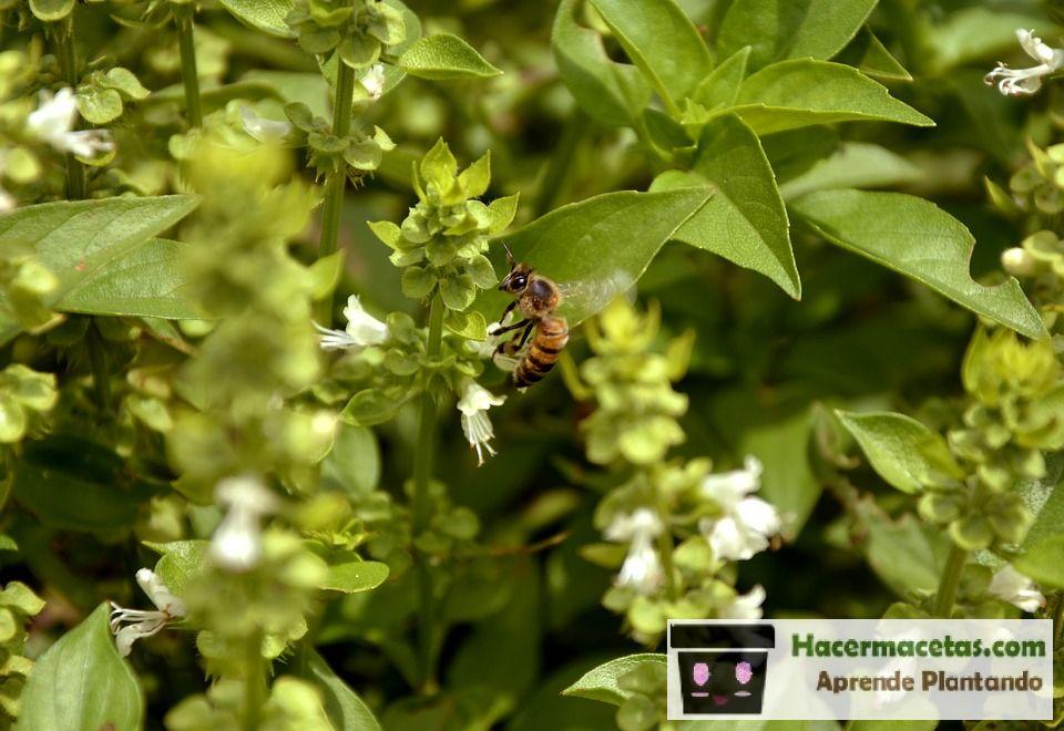 flor de albahaca