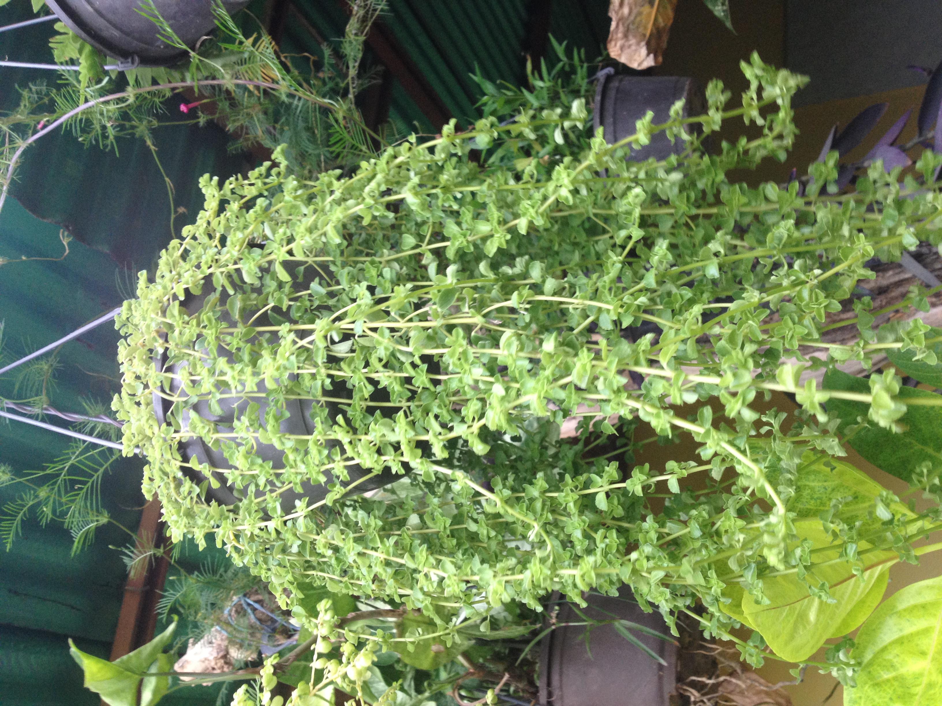 Plantas colgantes pcs plantas colgantes enredaderas for Tipos de plantas para macetas
