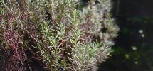 mi planta de romero publicada en steemit