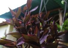 planta colgante purpurina