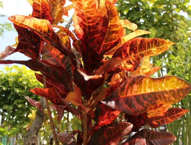 Croton botella magica