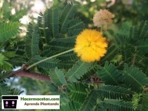 bellas planta d eflores