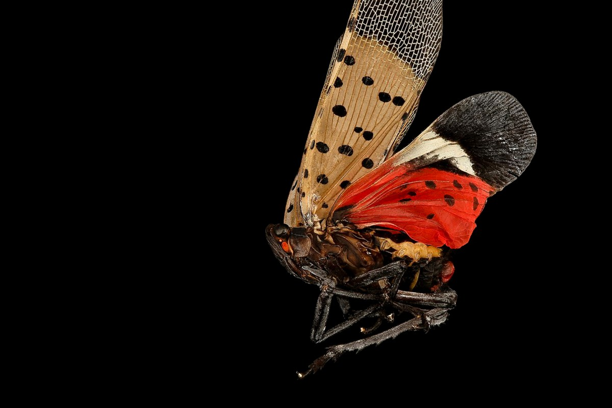 Wings to Watch Out For: The Spotted Lanternfly Invasion
