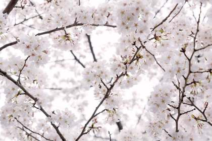 新生活を表現する桜