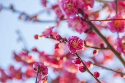 冬の終わりから咲き始める梅