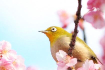 梅が咲く頃に春の訪れを告げるメジロ