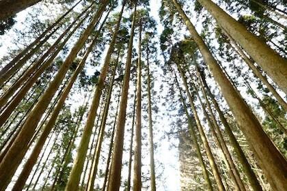 花粉症を引き起こすとされるヒノキの林