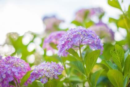 5月に咲く花のアジサイ