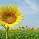 夏といえば元気なイメージのヒマワリ