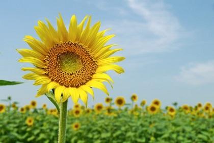 夏を象徴する元気なイメージのヒマワリ