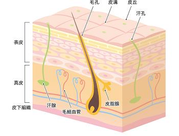 皮膚組織の三層構造