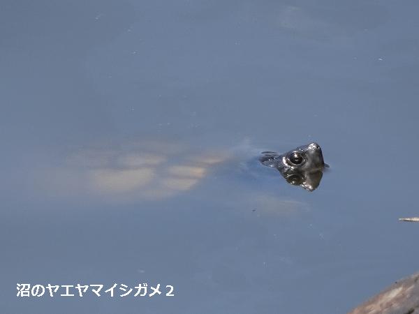 沼のヤエヤマイシガメ2