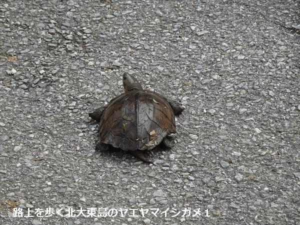 路上を歩く北大東島のヤエヤマイシガメ1