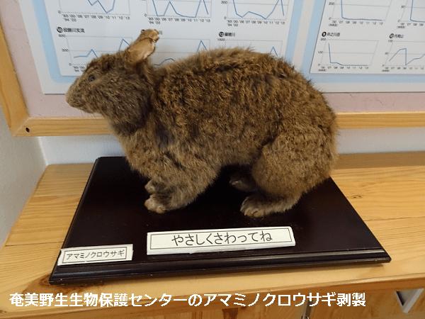 奄美野生生物保護センターのアマミノクロウサギ剥製