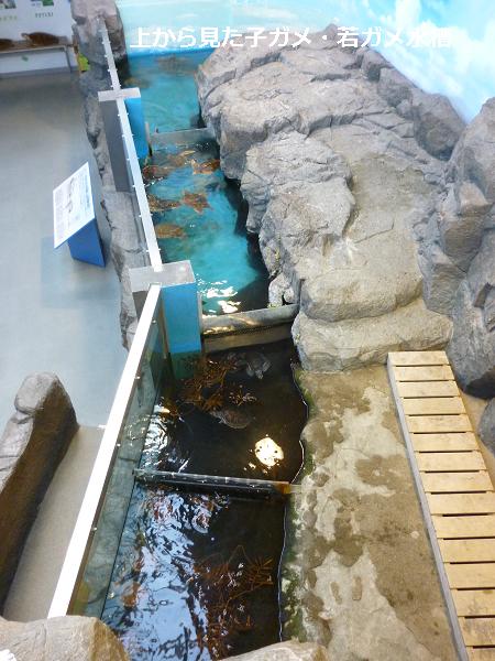 上からみた子ガメ・若ガメ水槽