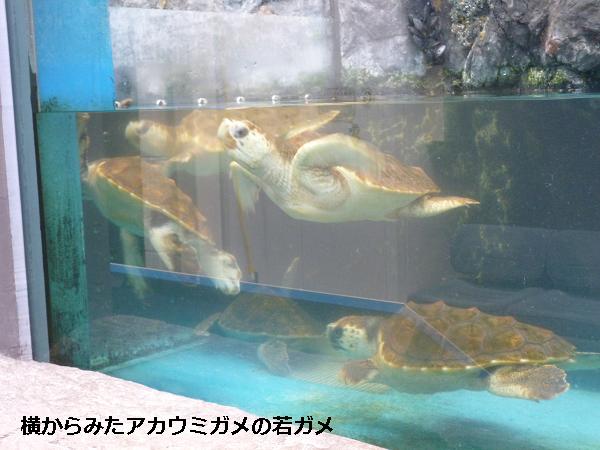 横からみたアカウミガメの若ガメ