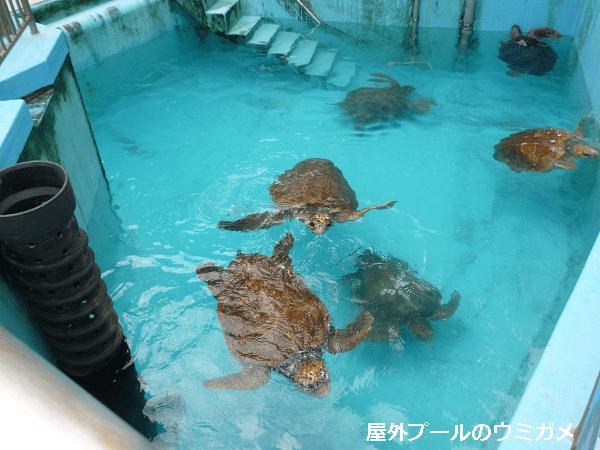 屋外プールで泳ぐウミガメ