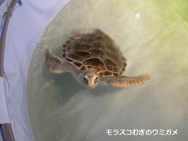 モラスコむぎのウミガメ