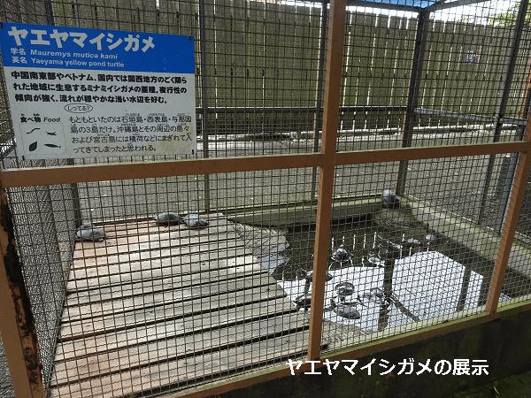 ヤエヤマイシガメの展示