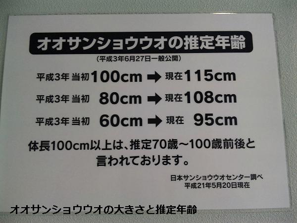 オオサンショウウオの大きさと推定年齢