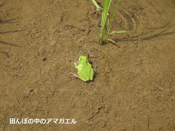 田んぼの中のアマガエル