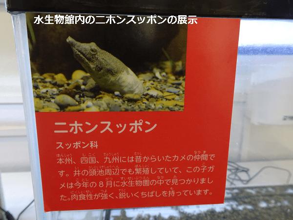 水生物館内のニホンスッポン展示