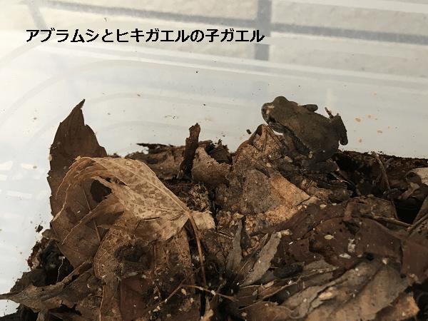 アブラムシとヒキガエルの子ガエル