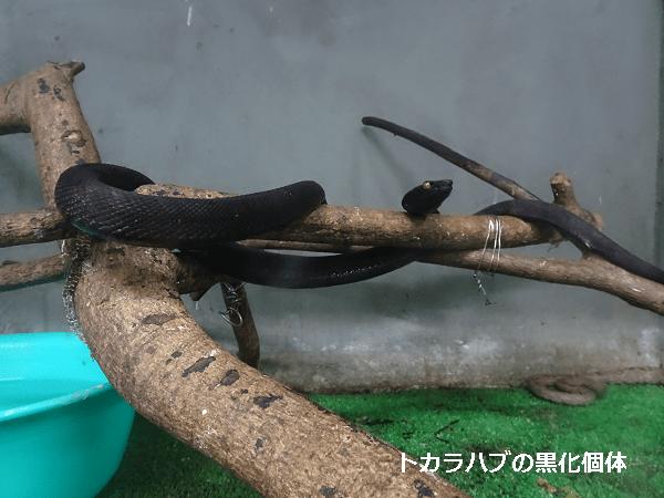 トカラハブの黒化個体