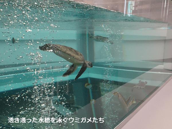 透き通った水槽を泳ぐウミガメたち