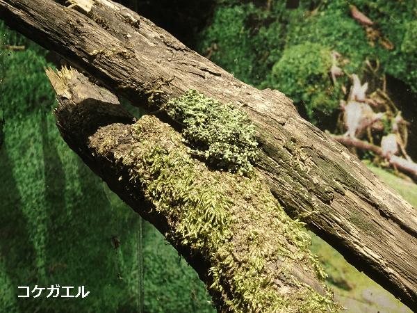 アクア・トトぎふのコケガエルのアップ