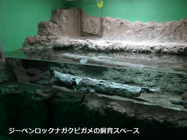 ジーベンロックナガクビガメの飼育スペース