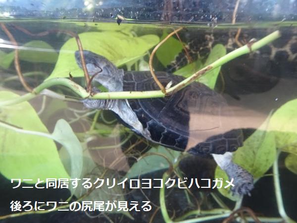 ワニと同居するクリイロヨコクビハコガメ
