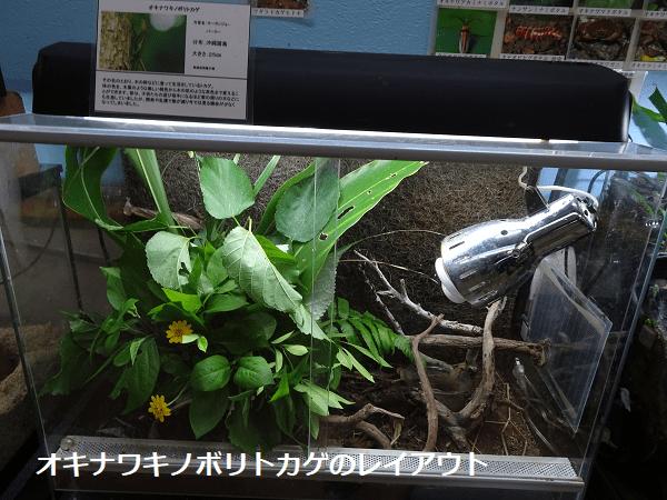 オキナワキノボリトカゲのレイアウト