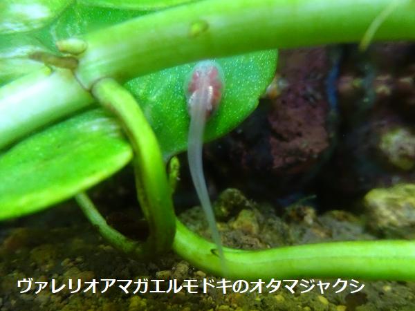 ヴァレリオアマガエルモドキのオタマジャクシ