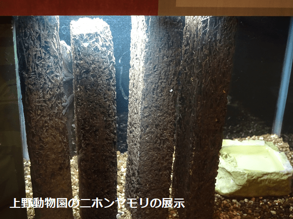 上野動物園のニホンヤモリの展示