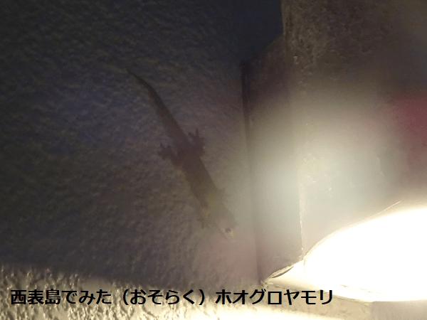 西表島のホオグロヤモリ