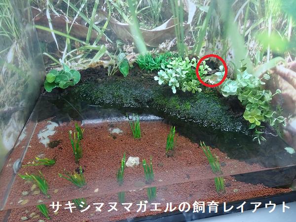 サキシマヌマガエルの飼育レイアウト