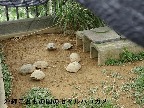 沖縄こどもの国のセマルハコガメ