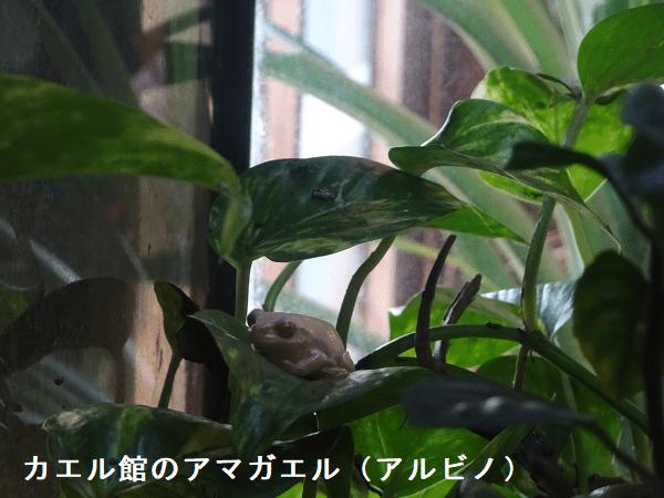 カエル館のアマガエル(アルビノ)