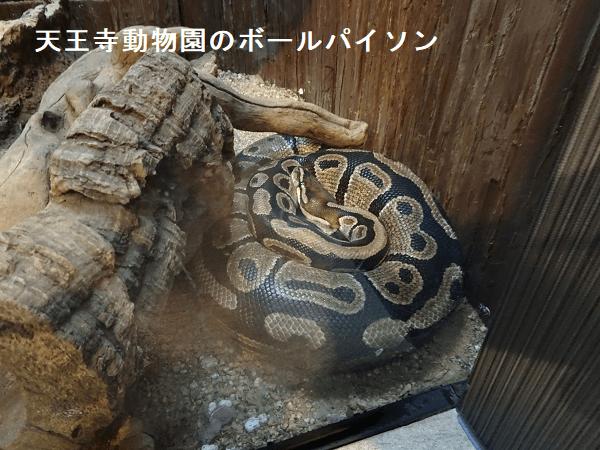 天王寺動物園のボールパイソン