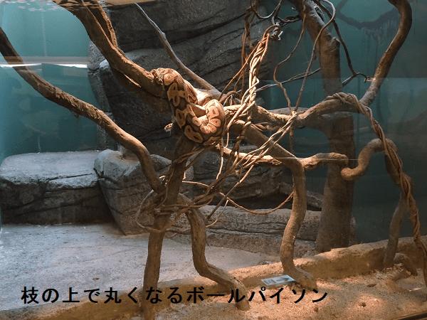 枝の上で丸くなるボールパイソン
