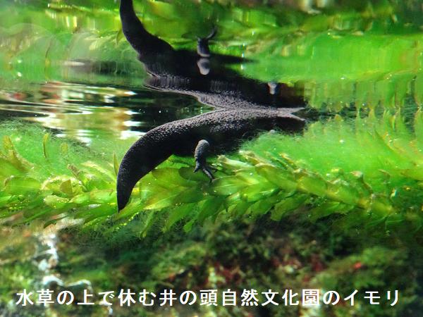 水草の上で休む井の頭自然文化園のイモリ