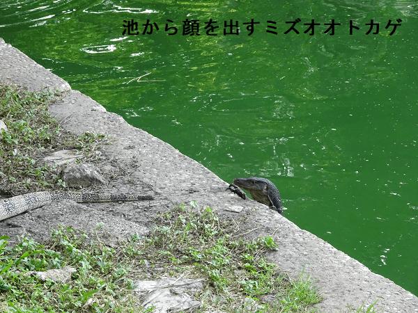 池から顔を出すミズオオトカゲ