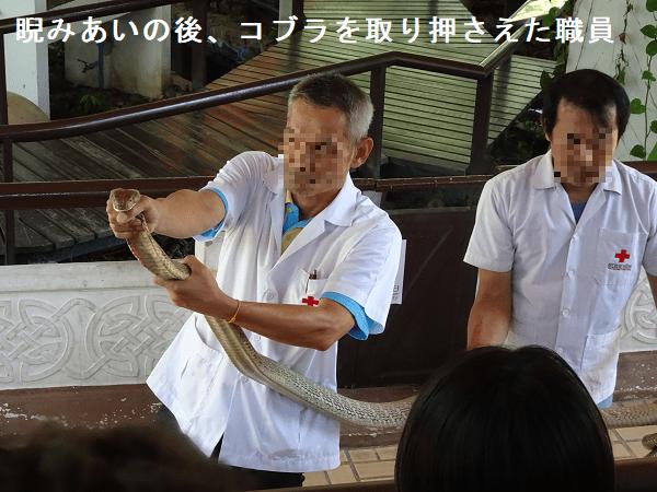 睨みあいの後、コブラを取り押さえた職員