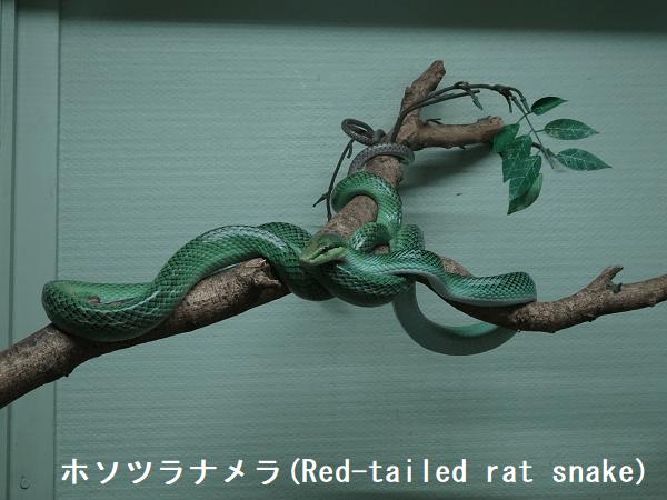 ホソツラナメラ(Red-tailed rat snake)